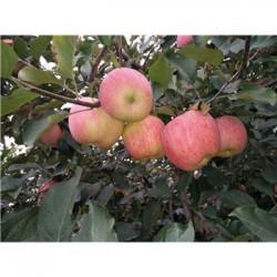 今 日 临沂今 日 红富士苹果70以上市场价格