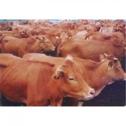 新疆黄牛养殖