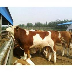 北京300斤的肉牛市场价格