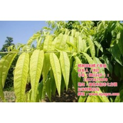 天门桃苗种植、枣阳桃花岛、桃苗种植技巧
