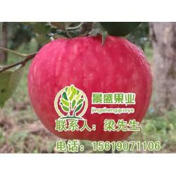 陕西洛川苹果报价、陕西洛川苹果、景盛果业