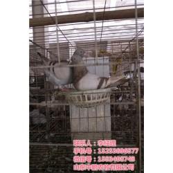 山东中鹏农牧(图),商品鸽,江苏商品鸽
