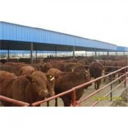 巴中市肉牛犊哪里有卖的