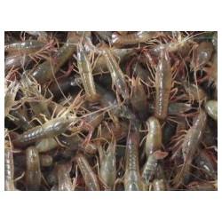 大量供应物超所值的优质的龙虾苗-小龙虾市场价格