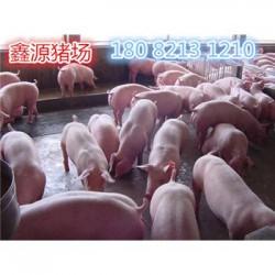 巴音郭楞苏太母猪厂家价格